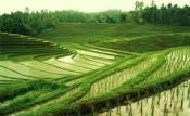 Rijstvelden Bali